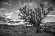 "Joshua Tree at Sunset 48"" x 32""   $4,295"